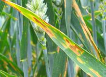 leafspot